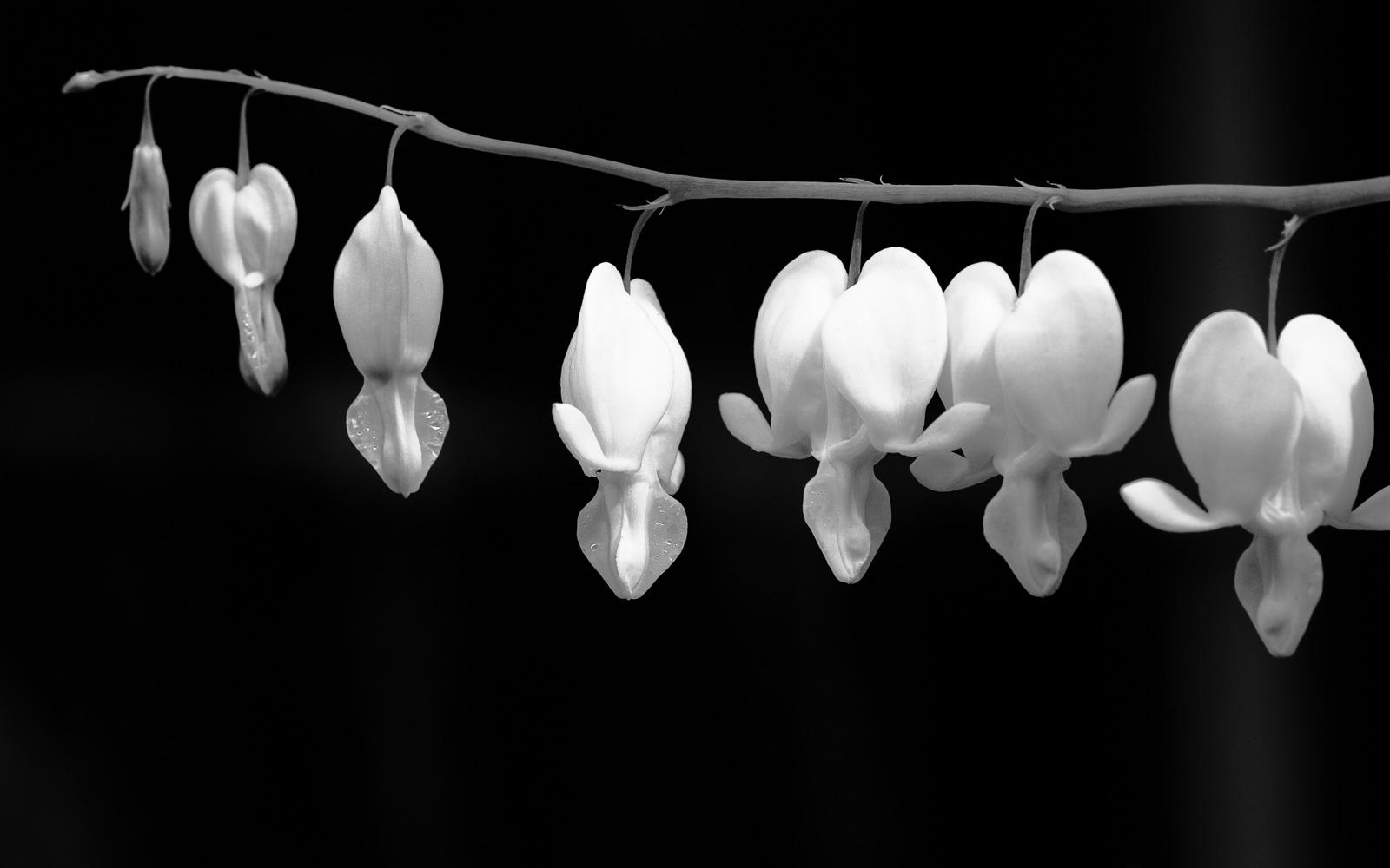 Bleeding Heart, Lamprocapnos spectabilis, white variety