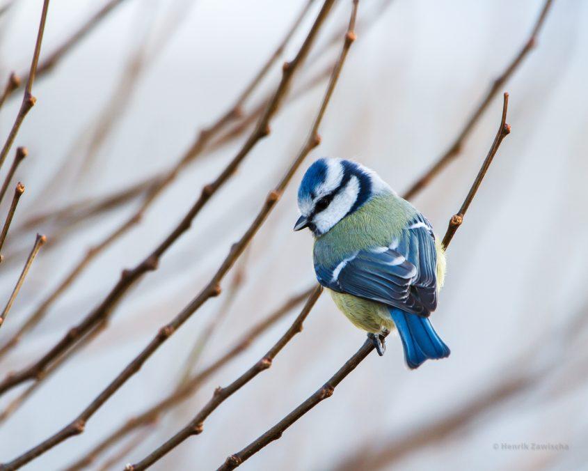 a small bird called blue tit